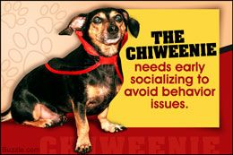 Personality trait of a dachshund chihuahua mix (chiweenie)