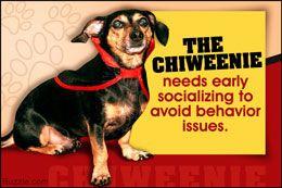 Personality trait of a dachshund chihuahua mix (chiweenie)
