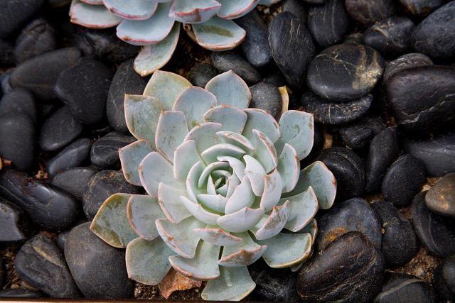 Sempervivum—Growing Hen and Chicks Succulents