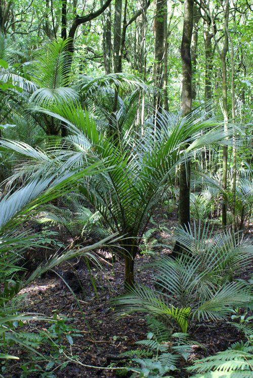 T.E.R:R.A.I.N - Taranaki Educational Resource: Research, Analysis and Information Network - Rhopalostylis sapida (Nikau Palm)