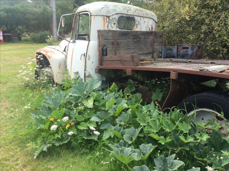 Growing pumpkins under the old truck