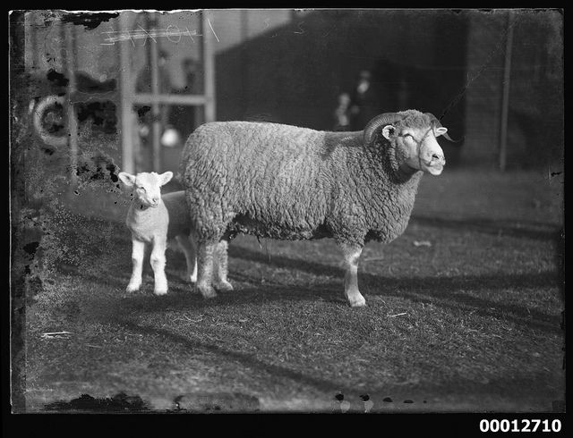 Portrait of a sheep and a lamb, possibly at the Royal Agricultural Show, Sydney - Australian National Maritime Museum.