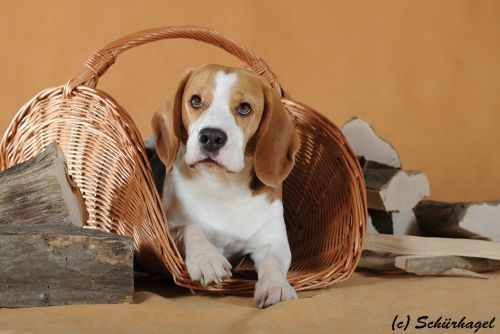 Gold Junior Lopez (Lopez) - Vienna Calling – The Beagle Kennel