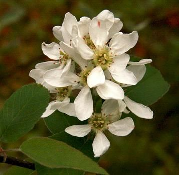 Serviceberry, Saskatoon (Amelanchier alnifolia), Pacific northwest native shrub. Hansen's Northwest Native Plant Database.