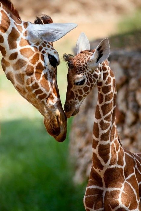 giraffes: Kiss, Sweet, Mothers, Baby Giraffes, Art Prints, Baby Animal, Things, Beauty, Families Portraits
