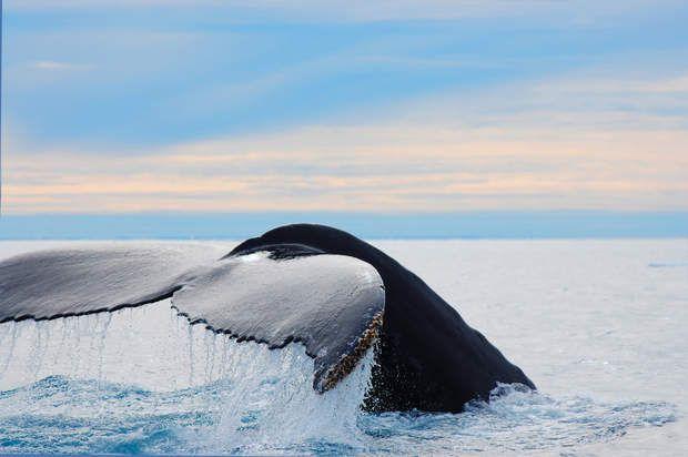 """L'Alaska, la """"dernière frontière"""", Situéaux confins de l'Amérique, baigné par lesocéans Pacifique et Arctique, l'Alaska mérite son surnom de « dernière frontière». Ce territoire abrite une faune sauvage exceptionnelle. Comme la baleine à bosse, grand migrateur et voyageur au long cours qui parcourt quelque 25 000 km chaque année. L'été, c'est dans les eaux fraîches de l'Alaska quecemammifère marin se réfugie. La baleine à bossepeut mesurer jusqu'à 19 mètres et peser 65 tonnes. Et…"""