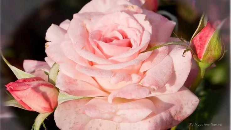 http://podryga-on-line.ru   Почему так сладко пахнут розы, Принося сумятицу в сердца? Аромат цветов рождает грезы, Душу будоражит без конца.  Сколько шарма, прелести, изыска, Сколько силы в царственном цветке! Лишь шипы -- защита зоны риска -- Оставляют след свой на руке.  Розовый букет прекрасный свежий Восхищает и волнует кровь. Только аромат цветочный, нежный Лишь в саду готов дарить любовь. Т.Лаврова