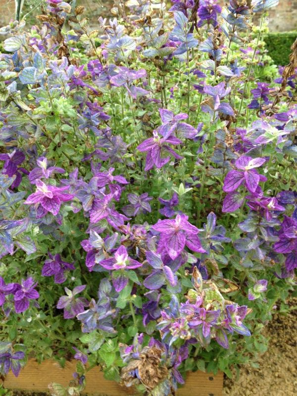 Clary Sage (salvia sclarea): Though this photo isn't sharp enough to give us the detail we need, the plant has the general look of clary sage. You can test that by smelling the flower: if the odor is strong and unpleasant, clary sage it is.