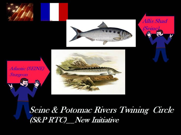"The Ellis Shad and European Sturgeon are two species out of 9 species of Atlantic migrating fish that are still found (as of 2009 Research Report) on the Seine River.  River restoration initiative via our ""River Twining""  will increase survival of these fish & restore healthier community for communities along the Seine and Potomac with self help and mutual help vision."