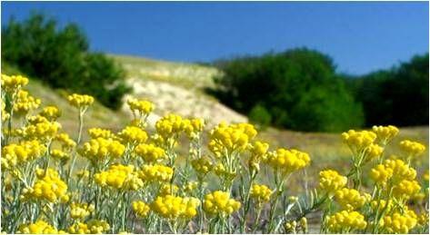 Plantation d'Hélichryse Italienne #corse #hélichryse #immortelle #essentialoil