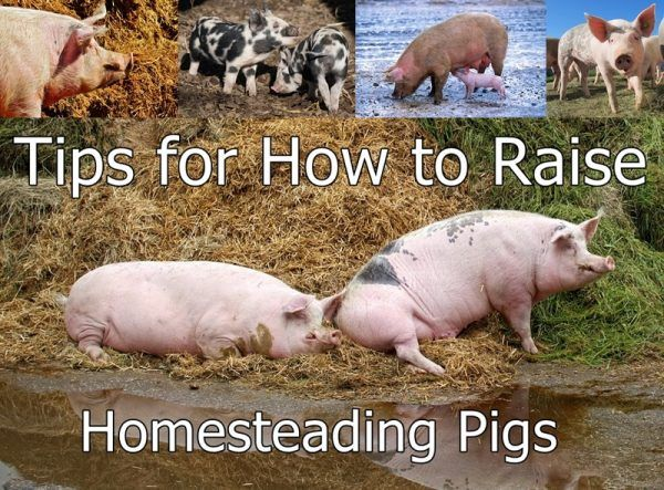 Tips for How to Raise Homesteading Pigs Homesteading - The Homestead Survival…
