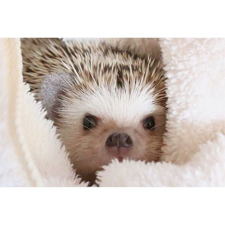 444 best hedgehogs images on pinterest hedgehogs pygmy hedgehog find this pin and more on hedgehogs by emileekeit voltagebd Gallery