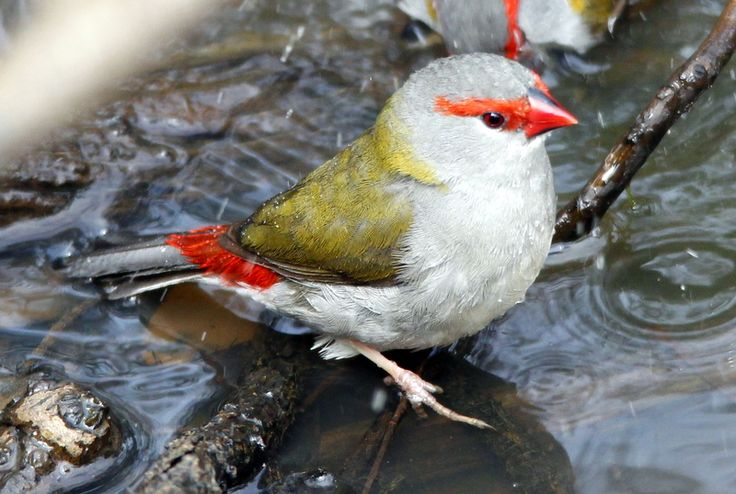 Red-browed Finch at Ocean Grove Nature Reserve, Victoria, Australia