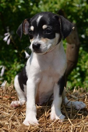 Jace~ is an adoptable Chihuahua, Jack Russell Terrier Dog in Pearl River, NY Jace is a sweet little 9 week old male Jack Russell Chihuahua mix puppy surrendered to our resc ... ...Read more about me on @petfinder.com