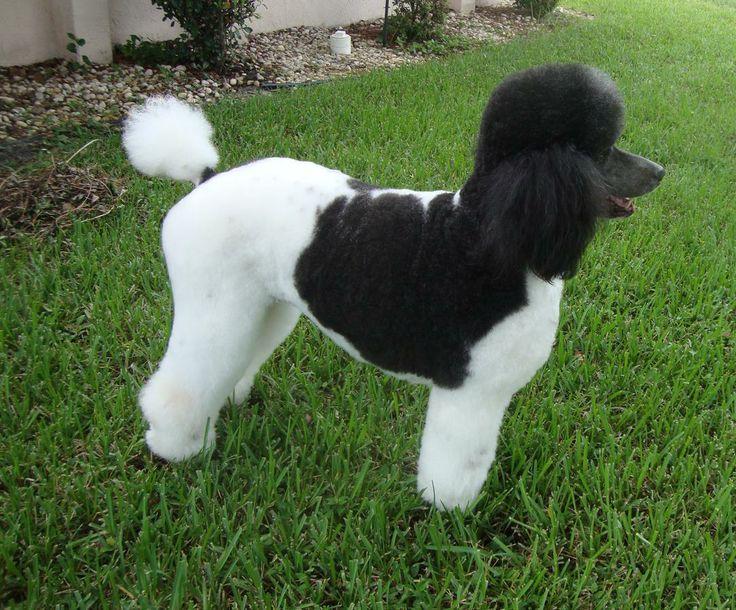 Standard Poodle Puppies Pups Rare Tuxedo Parti Colored