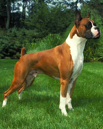 American Boxer Dog, a fine example of a champion show dog