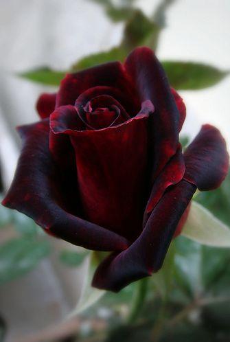 Dark reddish purple rose. Love this hybrid color.
