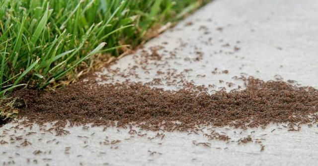 How To Get Rid Of Ants Permanently Best Home Gear In 2020 Rid Of Ants Get Rid Of Ants Pest Control