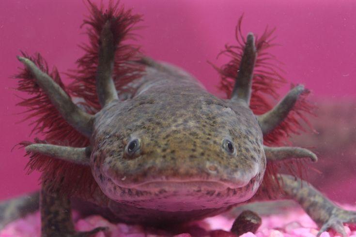 axolotl   Axolotl