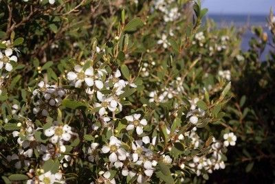 Australian Tea Tree Info: Tips For Growing An Australian Tea Tree - Australian tea tree is a graceful evergreen shrub valued for ability to grow in difficult conditions, and for its twists and curves. Want to learn about growing an Australian tea tree? It's easy; just click this article to find out!