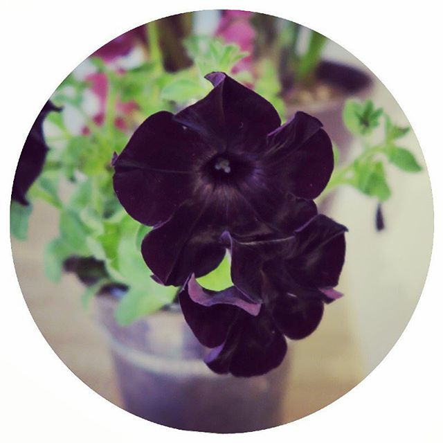 Adore this #blackflower on my #desk #Plants really breath life into your…