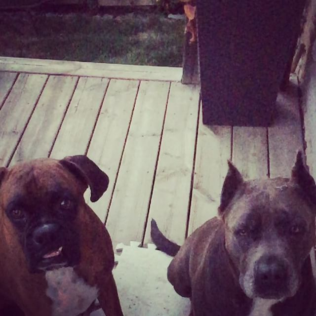 🐶🐶🍗🍖 #afterdinner #treats #sausage #meatlovers #dogs #boxer #boxersofinstagram #canecorso #mix #americanbandogge #bandog #bandogge #mastiff #dogsofinstagram #spoiled #boxerandthebandogge #ilovemydogs #furbabies