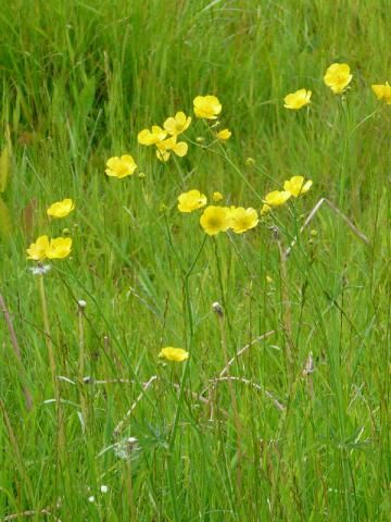 Meadow Buttercup: the giant buttercup | Nature Reserves of Dorset