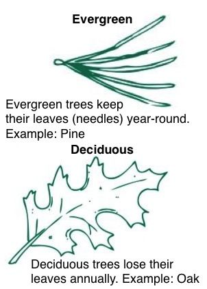 Evergreen and deciduous trees Life of Fred Apples Ch. 4, 12, 13, 15.
