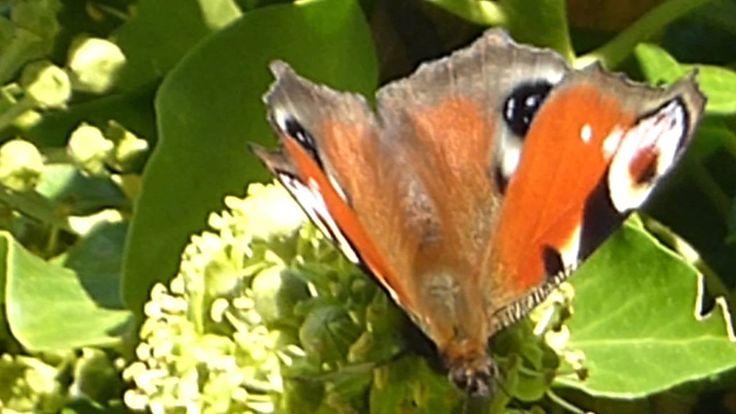 Пеперуди и пчели