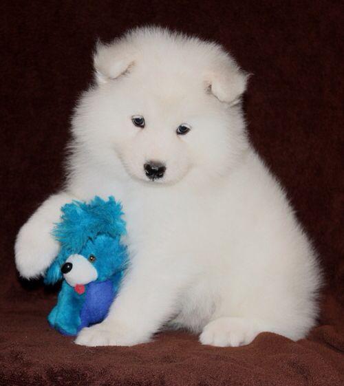 Baby Samoyed | Animals | Pinterest | Samoyed and Babies