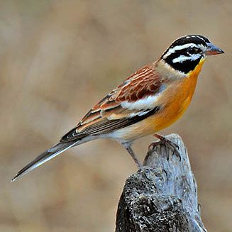 Golden-breasted Bunting. It occurs in dry open woodlands in Africa south of the Sahara. biodiversityexplorer.org