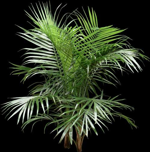 majesty palms are small to large very inexpensive that look good when first purchased but quickly decline when not given enough light or water