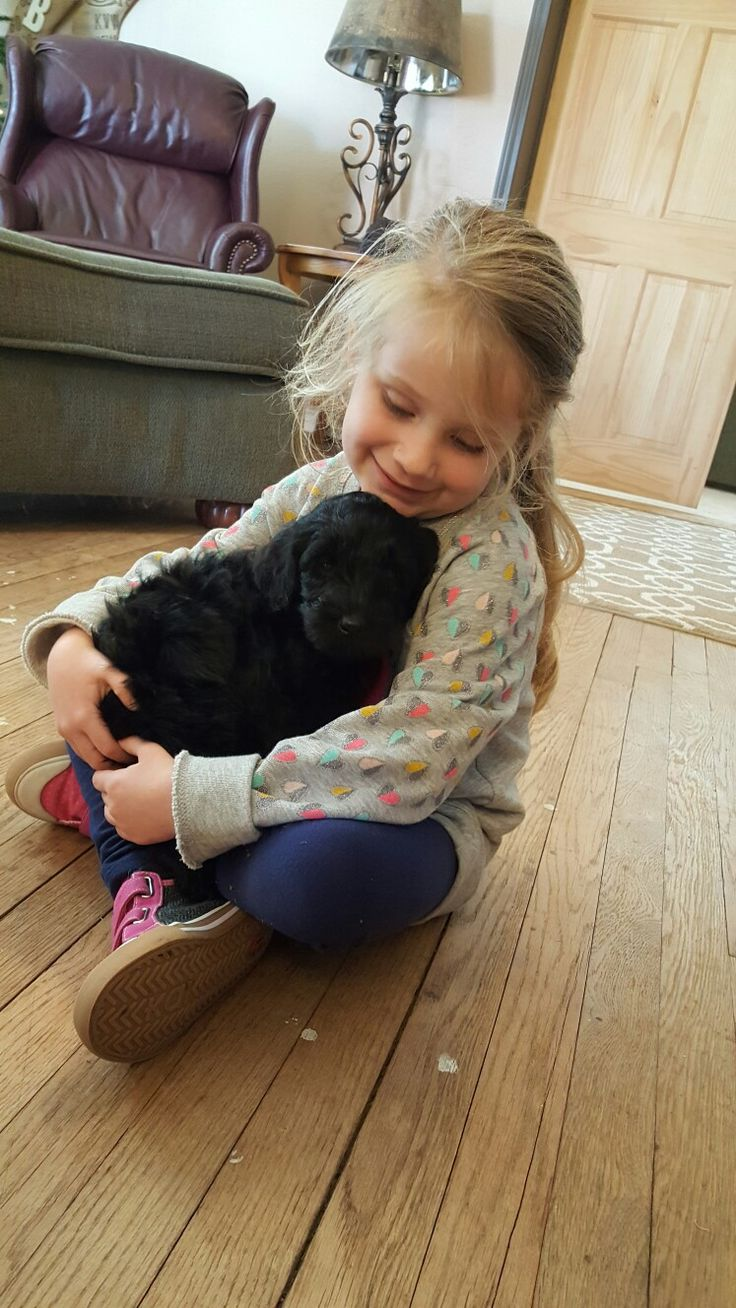 Giant schnauzer standard poodle giant schnoodle 6