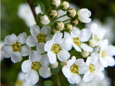 Spiraea Is Available In The Uk White For A Winter Wedding January Contact