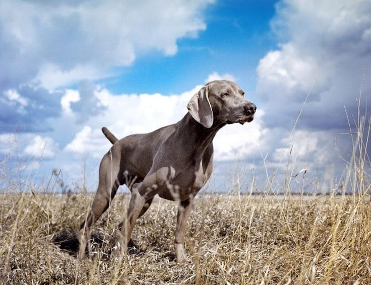 Originally bred specifically for the nobility to take along on their boar and fox hunts, the Weimarner has become one of the premier dogs for bird hunters of all classes.