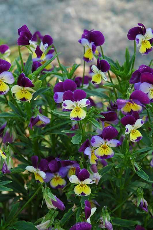 Johnny Jump-Ups feature beautiful purple flowers with indigo overtones, yellow eyes and blue centers at the ends of the stems from early spring to late fall, which are most effective when planted in groupings. It's small crinkled round leaves remain green in color all season.  Trim back, they rebloom and reseed so you find happy little garden surprises next year!