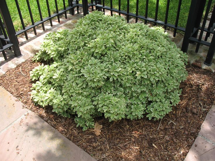 best  dwarf shrubs full sun ideas on   evergreen, Natural flower