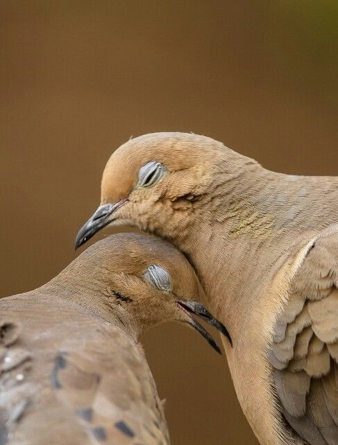 Mourning Doves mate for life <3....gentle, loving birds.