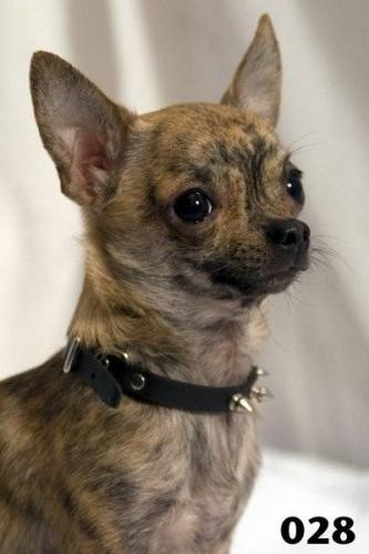 brindle chihuahua for sale brindle chihuahua aww so cute i want to squeeze him 9438