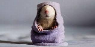animals and socks - Rat attack