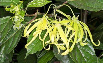 kod:prf05 Sarı çiçekli ylang ylang Parfüm ağacı (büyük boy) - cananga odorata(200-300 cm boyda) Büyük saksıda Canlı, parfüm kokulu çiçekler açar.