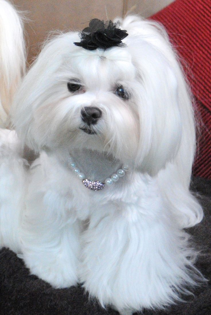 maltese dogs haircuts de 25 bedste id 233 er inden for maltese haircut p 229 5725