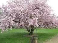 Image result for prunus accolade