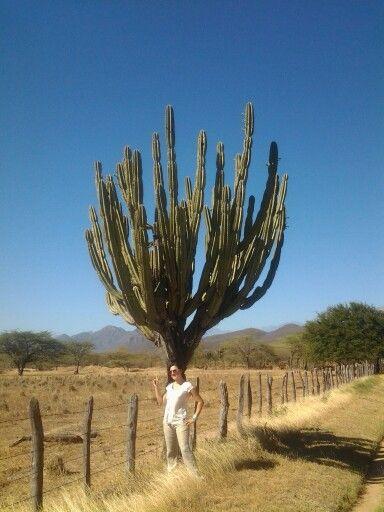 Cactus Ruta de la Provincia Valledupar Cesar / San Juan del Cesar Guajira Colombia