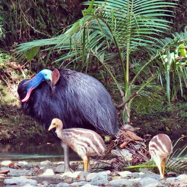 An adult cassowary and his two chicks in the Daintree National Park