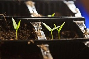 Once you've planted your seeds indoors, they need just the right amount of water to germinate and mature. Capillary mats, also called self watering trays, are a great watering option. Without a ste...