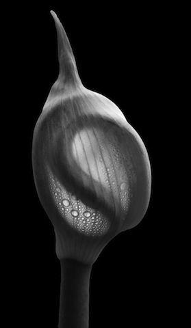 "Jeremy Barnard Dewy Onion Fetus Artist's Archival Giclées from digital captures, 21x27"" frame size"