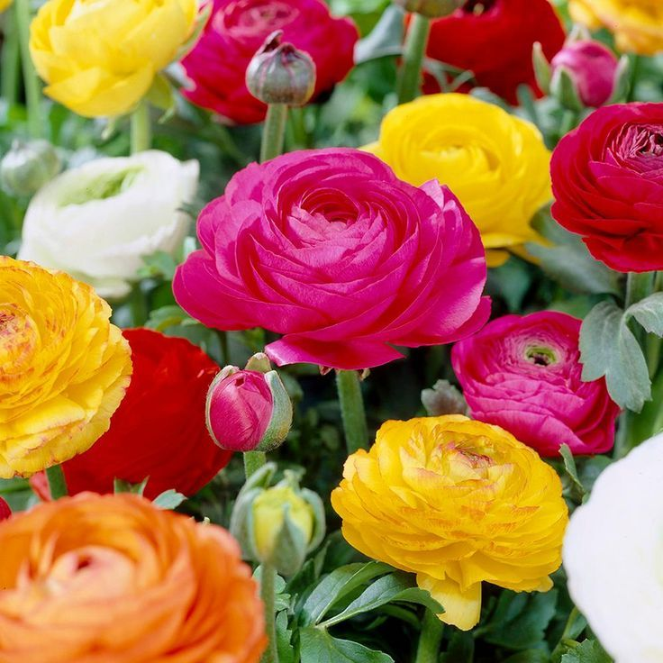 Van Zyverden Butter Cups Bulbs Ranunculus Double Blooming Mixed Set Of 25 Spring Flowering Bulbs Bulb Flowers Rose Like Flowers