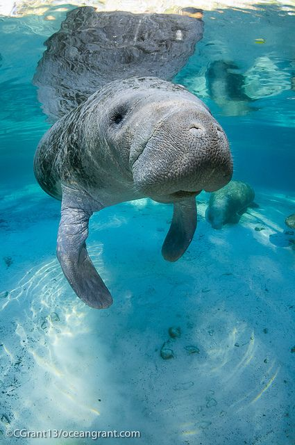 OMG is this for real?!  Manatees in Puerto Rico????? Anitillean Manatee, Rincon, Puerto Rico, Greater Antilles (USA)