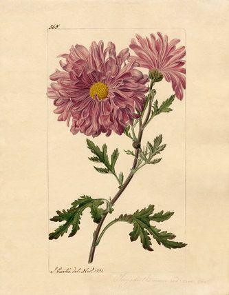 Chrysanthemum indicum, Curtis, John (1791-1862) (Artist)